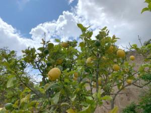 Frutas y verduras de temporada en Mallorca 4